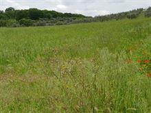 Terreno 80 alberi d'oliva